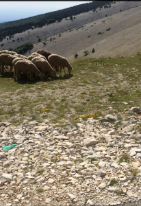 Sheep on Ventoux